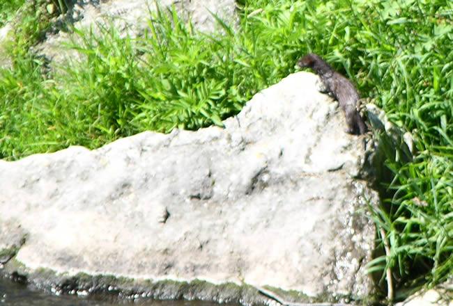 Otter in het Canal du Midi