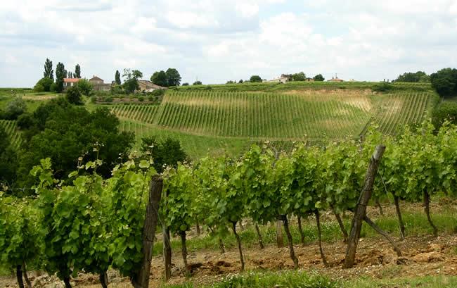 Wandelen in de wijngaarden