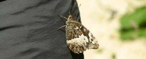 Vlinder Les Concluses