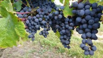 Wijngaarden in de Loirestreek