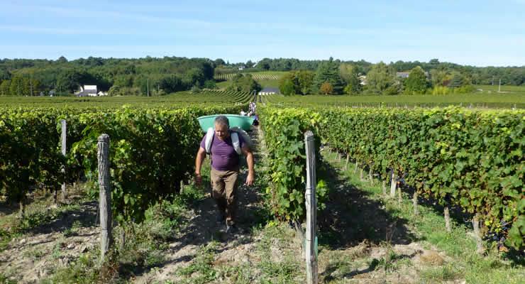 De wijngaarden in de Loirestreek