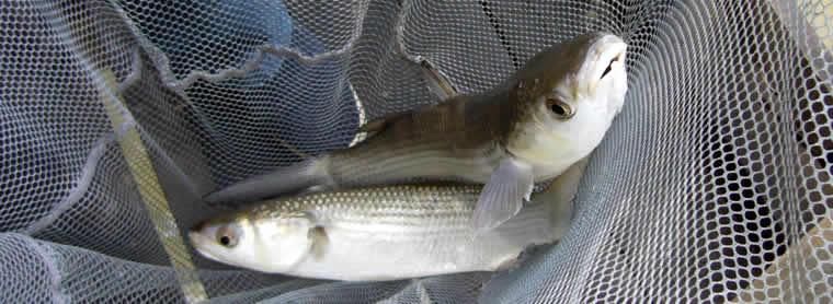 Vis voor de wandelaar