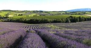 Geniet van lavendel in de Drôme