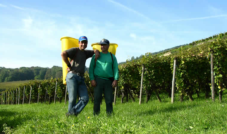 Wijngaarden bij Riquewihr