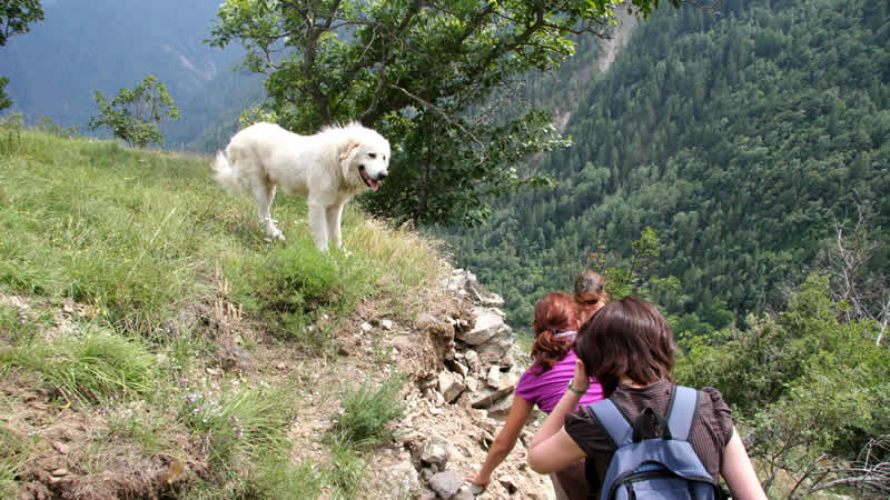 Patou, de Pyrénéese berghond