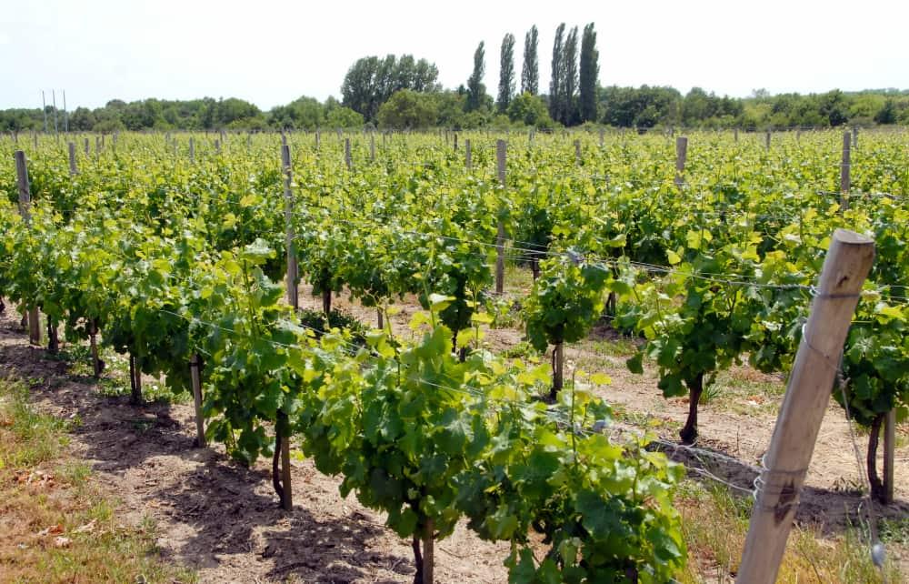 Wijngaarde Cour-Cheverny