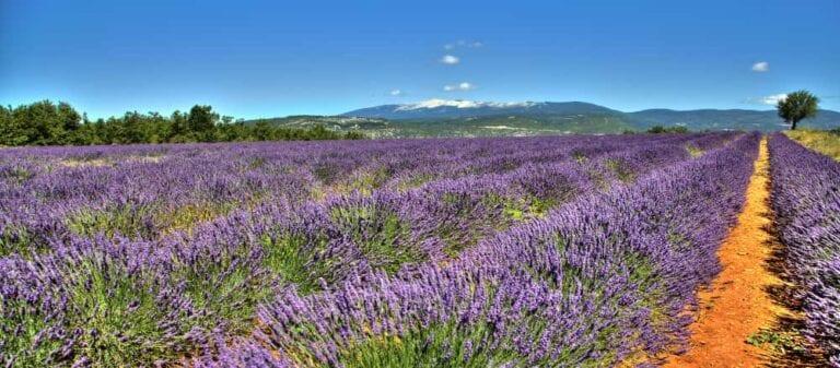 Bij Sault steekt de Mont-Ventoux uit boven de lavendelvelden